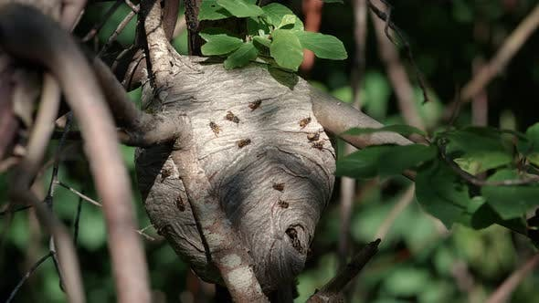 Thumbnail for Nature Zoom To Wasp Nest In Tree Branch