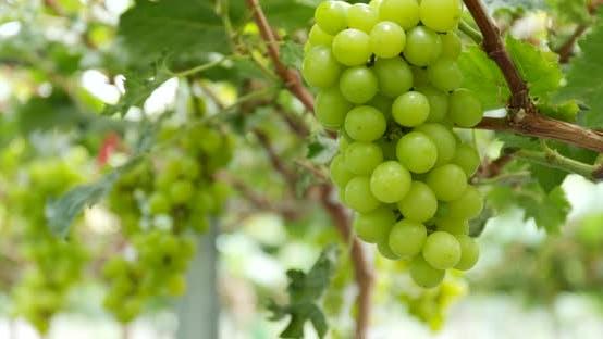Thumbnail for Fresh green ripe grapes farm