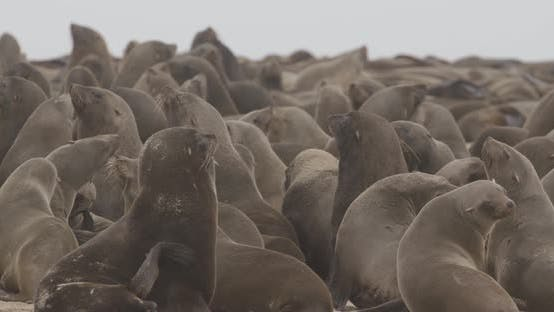 Thumbnail for Hectic Movement at Seal Colony