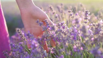 Sunset Over a Violet Lavender Field Outdoors