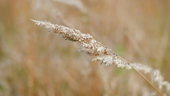 Thumbnail for Grain