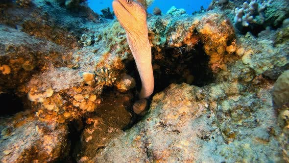 Cover Image for Yellow-mouth Moray Eel