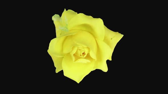 Thumbnail for Time-lapse of dying yellow April rose