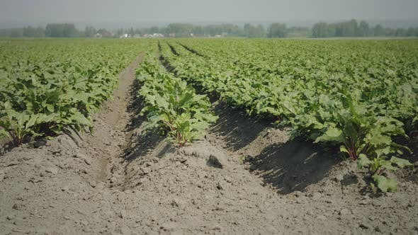 Thumbnail for Agricultural cultivated beetroot field
