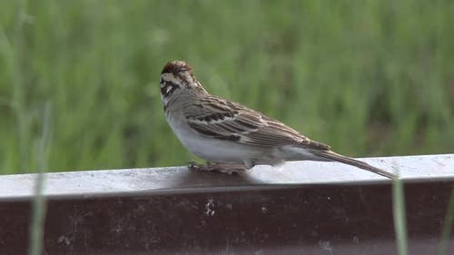 Lark Sparrow Adult Lone in Summer in South Dakota United States
