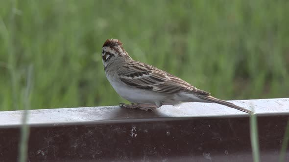 Thumbnail for Lark Sparrow Adult Lone in Summer in South Dakota United States