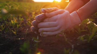 Farmer Hand Holding Leaf of Cultivated Plant
