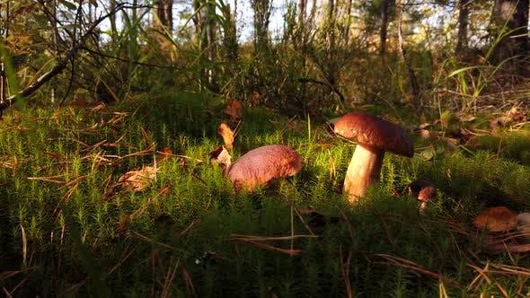 Boletus Edulis Pilz beim Pflücken von Pilzen gepflückt