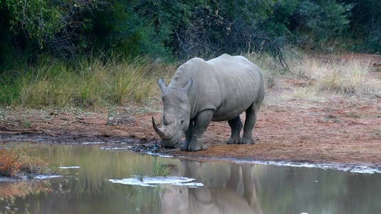 Thumbnail for White rhinoceros Pilanesberg, South Africa safari wildlife