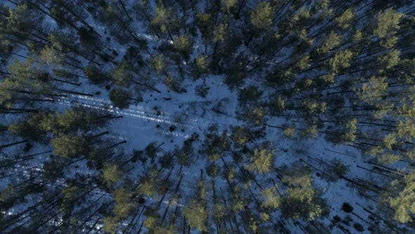 Thumbnail for Bird's Eye View Of Pine Forest In Winter Time
