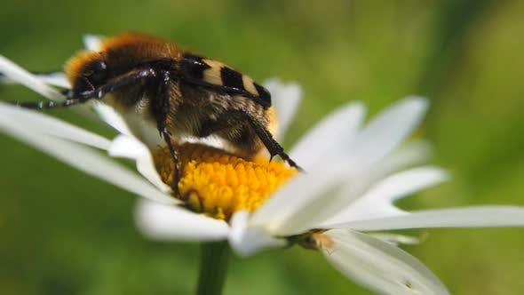 Thumbnail for Bee Collects Nectar on a Daisy Flower in the Forest