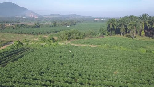 Drone view potato plantation
