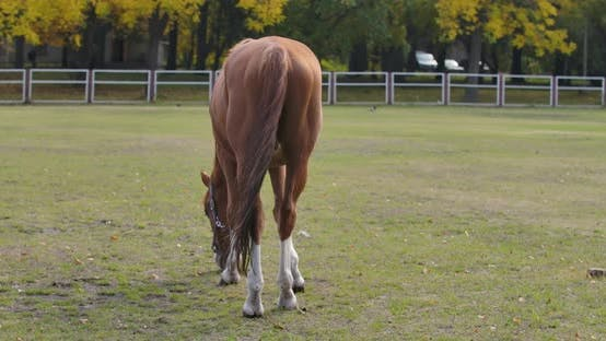 Thumbnail for Back View of a Graceful Brown Horse Eating Grass in the Corral