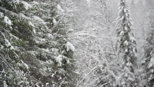 Thumbnail for Forest Covered with White Snow
