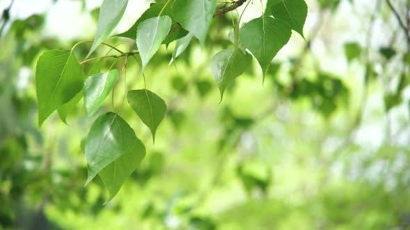 Thumbnail for Leaves Backlit. Summer Poplar Tree