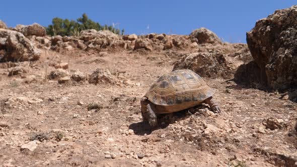 Thumbnail for Moroccan tortoise walks down a rocky hill in Morocco