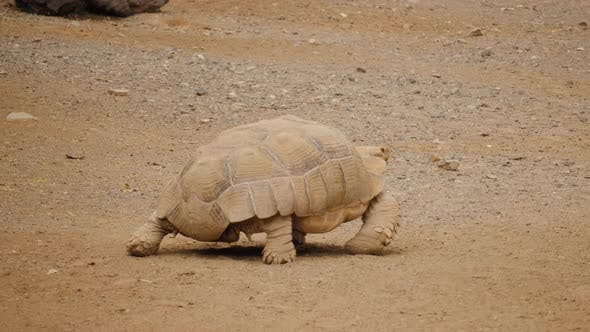 Thumbnail for Old Large Wild Turtle Walking on Dried Brown Earth Floor Portraits