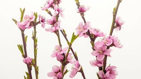 Thumbnail for Peach Flower On White 1