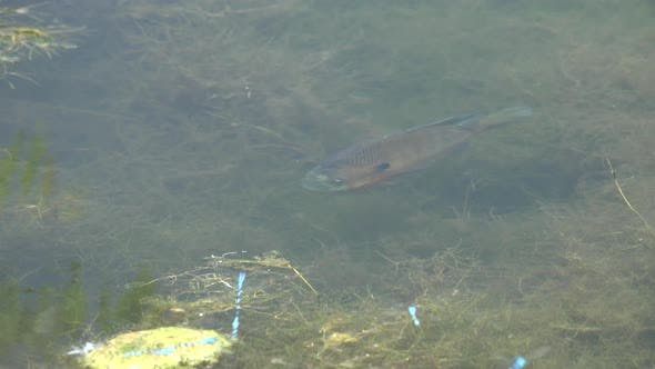 Bluegill Adult Lone in Summer in South Dakota United States
