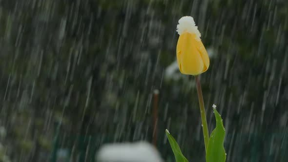 Thumbnail for The Yellow Bud Is Covered with Snow