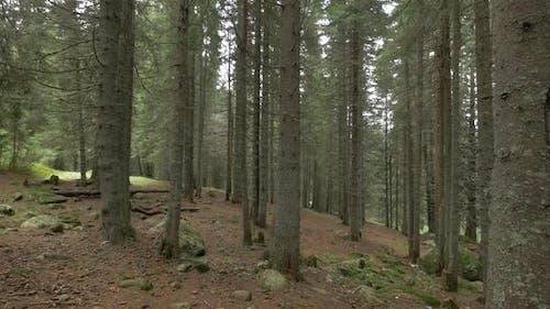 Coniferous Forest Ground