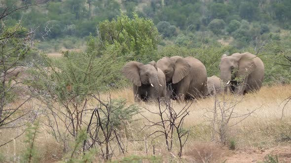 Thumbnail for Herd of elephants in Pilanesberg Game Reserve