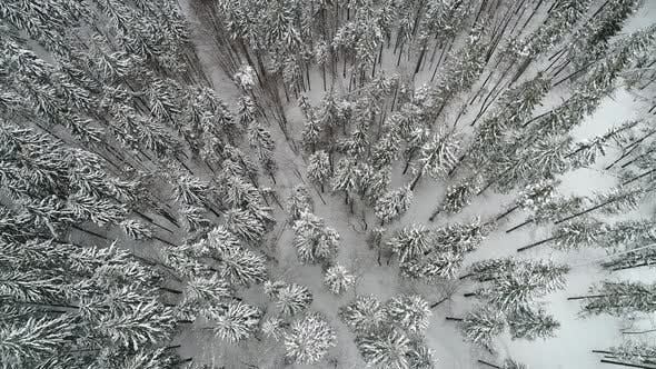 Thumbnail for Winterland, Fly Over Fir Tree in the Snowstorm. Cold, Carpatian.