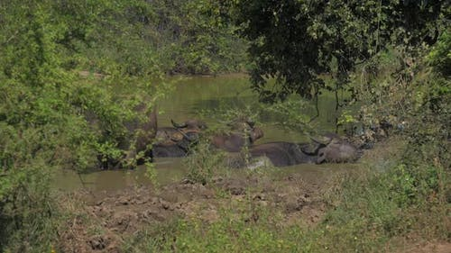 Large Buffalos with Antlers Stand in Water on Summer Day