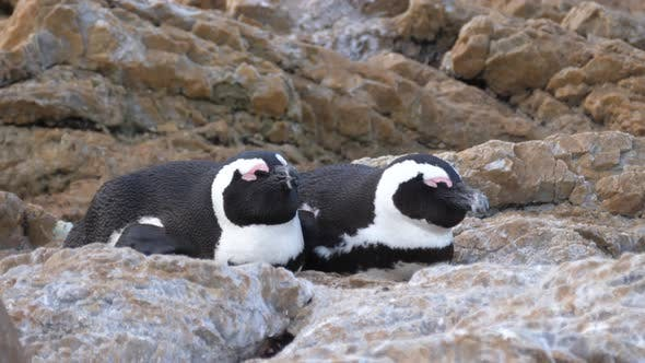 Thumbnail for Two penguin sleeping on the rocks