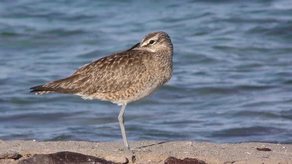 Thumbnail for Whimbrel Adult Alone Resting in Mexico