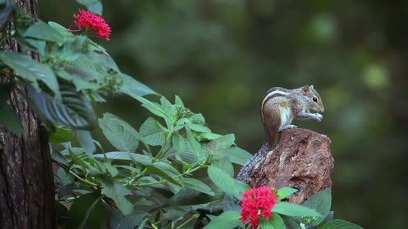 Thumbnail for Indian palm squirrel in Sri Lanka