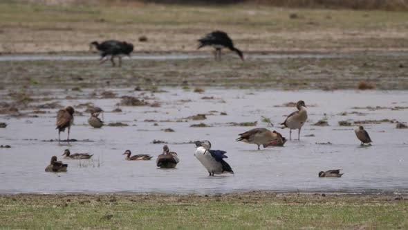 Egyptian goose and Knob-billed duck