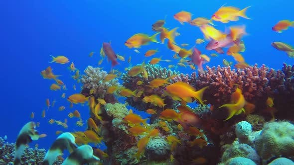 Thumbnail for Coral Reefs Beauty Seascape