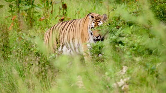 Tiger Walking Amidst Plants in Wilderness Area
