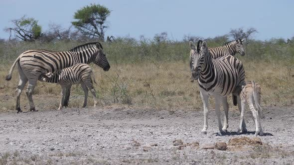 Thumbnail for Zebras feeding their young on a dry savanna