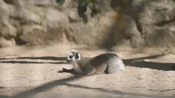 Thumbnail for Lemur Rests On A Sand