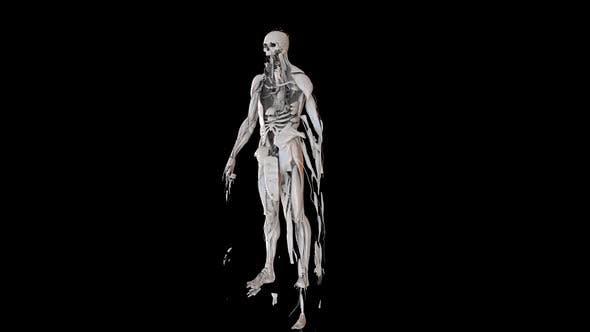 Thumbnail for Male Body Anatomy
