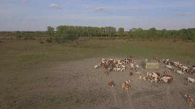 Aerial Shot Of Cows