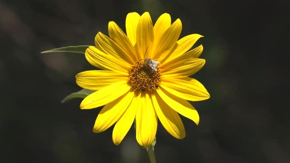 Sunflower Lone Flower Flowering in Summer Bees Flies Bumblebees Pollinators Pollination Yellow