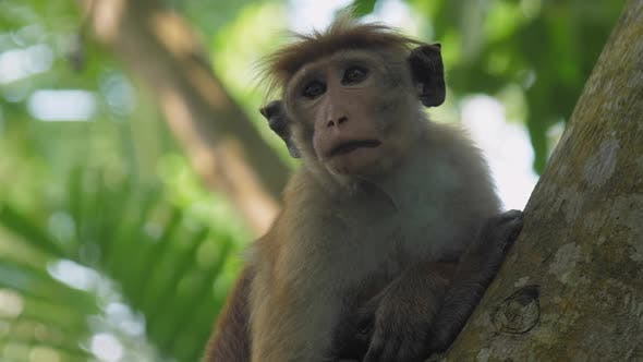 Thumbnail for Toque Macaque with Big Eyes and Funny Forelock Sits on Tree