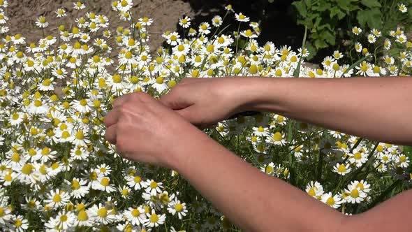 Thumbnail for Kamille oder Anbau eines Heilkräutergartens 6
