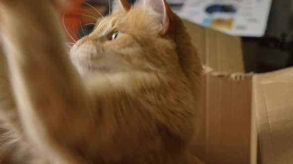 Funny Cat Plays with Toy Sitting Inside Cardboard Box