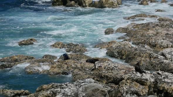 Wild fur seals sleep on the rock at Kaikoura, South Island, New Zealand