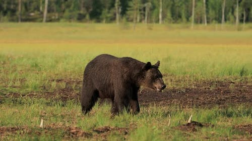 Brown Bear Ursus Arctos in Wild Nature is a Bear that is Found across Much of Northern Eurasia
