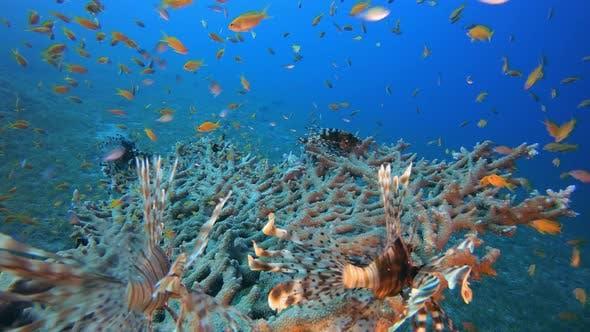 Thumbnail for Coral Garden Scene Lion-Fish