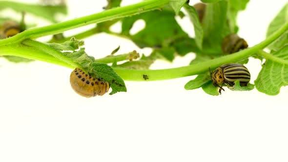 Thumbnail for Larvae of a Potato Bug Eat a Bush on White Background