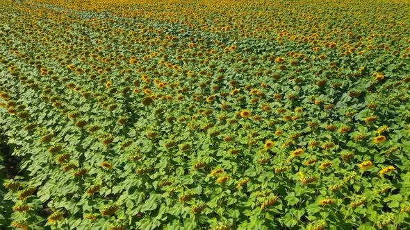 Cover Image for Aerial View Field Of Sunflowers
