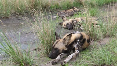 African wild dog laying down in the grass