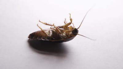 Close Up of Cockroach Isolated on White Background