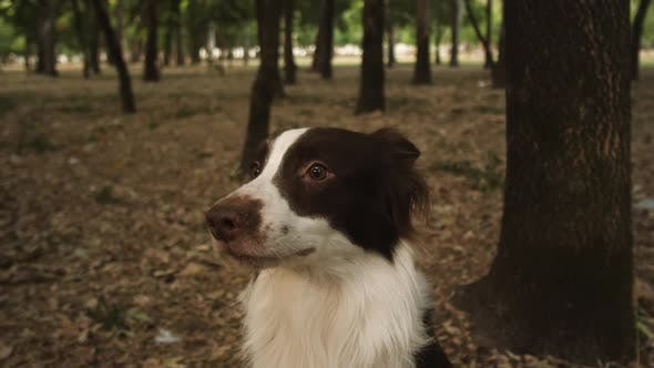 Thumbnail for Smiling Dog In A Forest